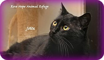 Domestic Shorthair Cat for adoption in Waterbury, Connecticut - Jetta