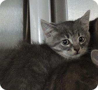 Domestic Shorthair Kitten for adoption in Sullivan, Missouri - Pisces