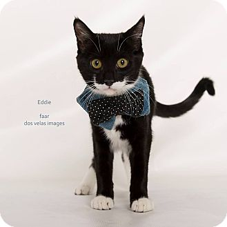 Domestic Shorthair Kitten for adoption in Riverside, California - Eddie
