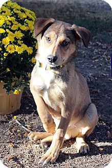 Shepherd (Unknown Type) Mix Dog for adoption in Westminster, Colorado - NILES