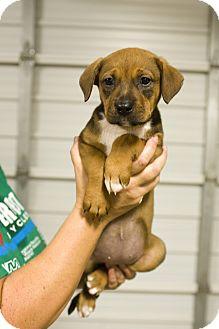 Rottweiler Mix Puppy for adoption in Austin, Arkansas - Adopt Me