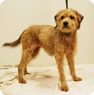 Terrier (Unknown Type, Small) Mix Dog for adoption in Chalfont, Pennsylvania - Gracie