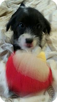 Beagle Mix Puppy for adoption in Pompton Lakes, New Jersey - Olive Oil
