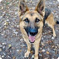 German Shepherd Dog Dog for adoption in Morrisville, North Carolina - Liberty (Adoption Pending)