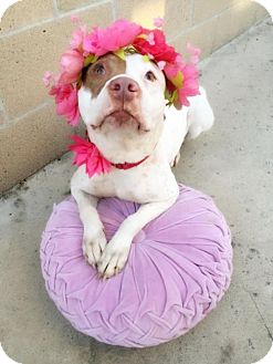 American Staffordshire Terrier/Pointer Mix Dog for adoption in Orange, California - Mercedes The Munchkin Girl