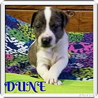Adopt A Pet :: DUNE - New York, NY
