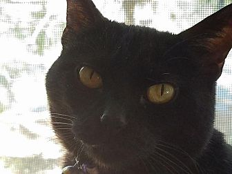 Domestic Shorthair Cat for adoption in Lake Arrowhead, California - Tessa