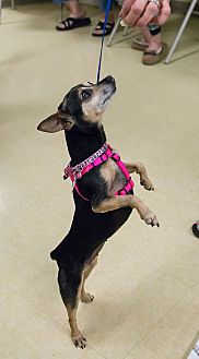 Miniature Pinscher/Chihuahua Mix Dog for adoption in Grass Valley, California - Tina