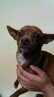 Chihuahua Mix Dog for adoption in Willows, California - Wilma