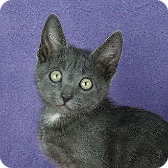 Domestic Shorthair Kitten for adoption in Columbia, Illinois - Monte