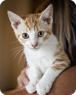 Domestic Shorthair Kitten for adoption in St Helena, California - Alvin