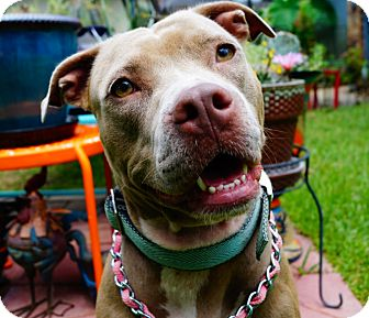 Staffordshire Bull Terrier Mix Dog for adoption in Cat Spring, Texas - Steffie