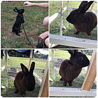 Adopt A Pet :: Shadow - Trenton, NC