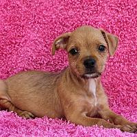 Adopt A Pet :: Carmel Delight - Los Angeles, CA