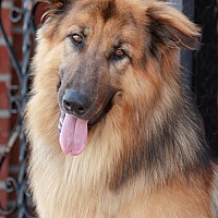 Adopt A Pet :: Grizzly von Grimmen - Los Angeles, CA