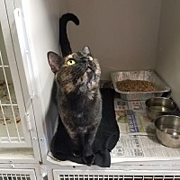 Domestic Shorthair Cat for adoption in Colfax, Illinois - Margret