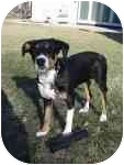 Doberman Pinscher/Bernese Mountain Dog Mix Puppy for adoption in Plainfield, Illinois - Vicky