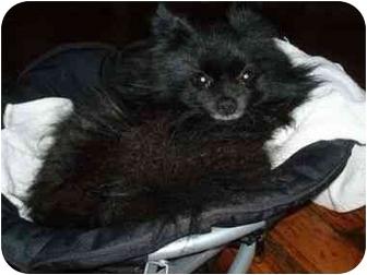 Pomeranian Dog for adoption in Long Beach, New York - Dux