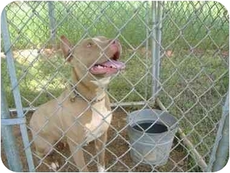 American Staffordshire Terrier Dog for adoption in Inman, South Carolina - Beauty