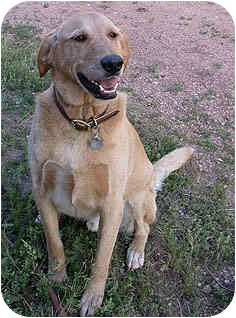 Labrador Retriever Mix Dog for adoption in Evergreen, Colorado - Huck