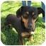 Photo 1 - Dachshund Dog for adoption in Sugar Land, Texas - Socks