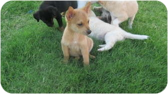 """Cattle Dog/Shepherd (Unknown Type) Mix Puppy for adoption in Plano, Texas - Cara""""Mel"""""""