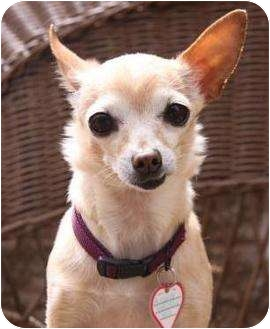 Chihuahua Mix Dog for adoption in petaluma, California - Lizzie