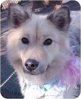 Finnish Lapphund Mix Dog for adoption in Huntington, New York - Sheeba