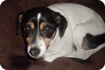 Terrier (Unknown Type, Small) Mix Dog for adoption in Foster, Rhode Island - Lucy