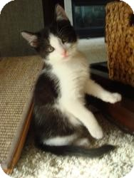 Domestic Shorthair Kitten for adoption in Clarksville, Indiana - Tess