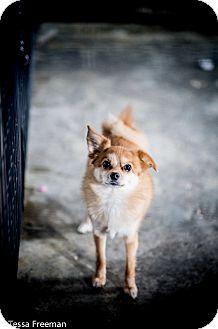 Pomeranian Dog for adoption in Muldrow, Oklahoma - Winslow