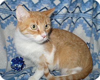 Domestic Shorthair Cat for adoption in Pueblo West, Colorado - Bayley