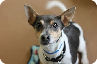 Rat Terrier Mix Dog for adoption in Chicago, Illinois - Mischo