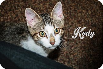 Domestic Shorthair Kitten for adoption in Bentonville, Arkansas - Kody
