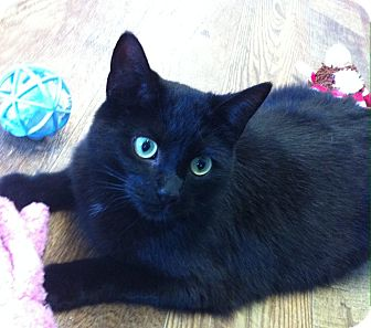 Domestic Shorthair Cat for adoption in Port Hope, Ontario - Wendy