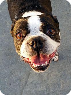 Boston Terrier Dog for adoption in Winnetka, California - BOBBY