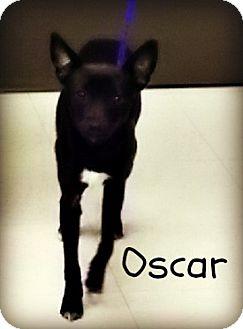 Chihuahua Mix Dog for adoption in Defiance, Ohio - Oscar