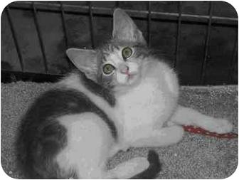 Domestic Shorthair Kitten for adoption in Clarksville, Indiana - Lillie