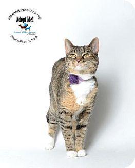 Domestic Shorthair Cat for adoption in Alexandria, Virginia - Sheba