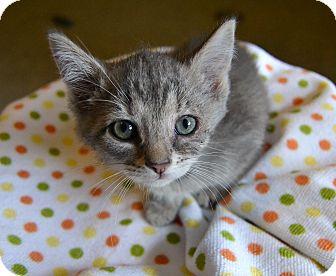 Domestic Shorthair Kitten for adoption in Michigan City, Indiana - Cody