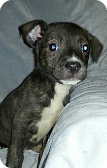 Terrier (Unknown Type, Medium)/Labrador Retriever Mix Puppy for adoption in Pompton Lakes, New Jersey - Manny