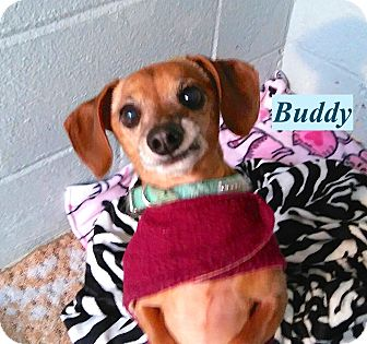 Dachshund Mix Dog for adoption in El Cajon, California - Buddy
