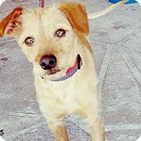 Adopt A Pet :: Irish - Las Vegas, NV