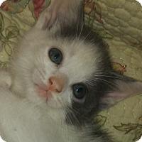 Adopt A Pet :: Sugar Ray - Harmony, NC