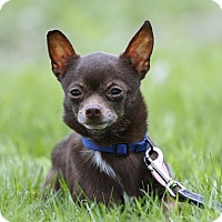 Adopt A Pet :: Ponchi - Ile-Perrot, QC