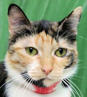 Domestic Shorthair/Domestic Shorthair Mix Cat for adoption in Houston, Texas - DAISY