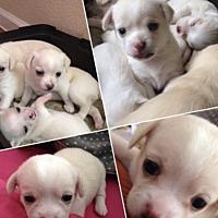 Adopt A Pet :: Miles - Arlington, TX