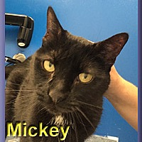 Adopt A Pet :: Mickey - Aldie, VA