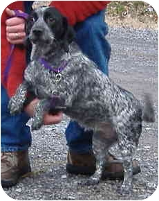 Spaniel (Unknown Type) Mix Dog for adoption in Huntingdon, Pennsylvania - Molly