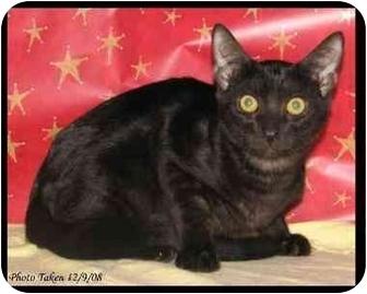 Domestic Shorthair Kitten for adoption in Orlando, Florida - Poe